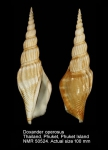 Doxander vittatus apicatus