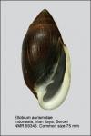 Ellobium aurismidae