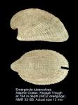 Emarginula tuberculosa