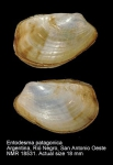 Entodesma patagonicum