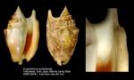 Euprotomus aurisdianae
