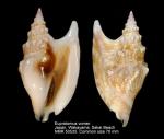Euprotomus vomer