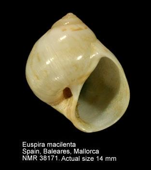 Euspira macilenta