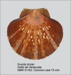 Euvola ziczac