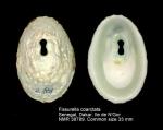 Fissurella coarctata
