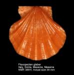 Flexopecten glaber