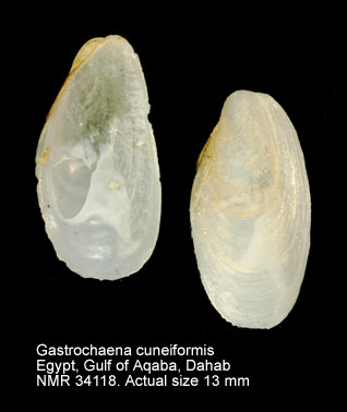 Gastrochaena cuneiformis