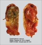 Gastropteron rubrum