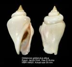 Gibberulus gibberulus albus