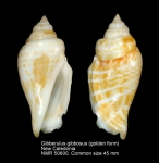 Gibberulus gibbosus