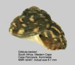Gibbula beckeri