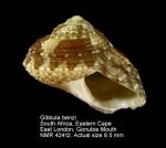 Gibbula benzi