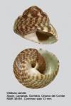 Gibbula candei