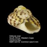Gibbula cicer