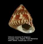 Gibbula cineraria (Linnaeus, 1758)(southern morphotype)