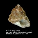 Gibbula delgadensis