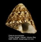Trochidae