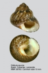 Gibbula spurca