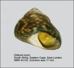 Gibbula tryoni