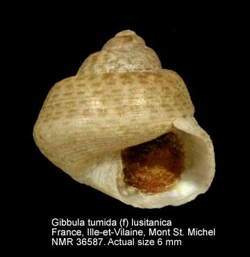 Gibbula tumida