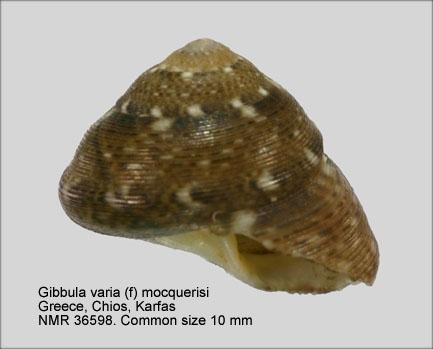 Gibbula varia