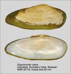 Glauconome virens