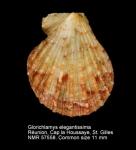 Glorichlamys elegantissima