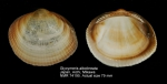Glycymeris albolineata