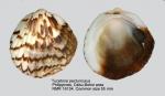 Glycymeris amboinensis