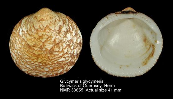 Glycymeris glycymeris
