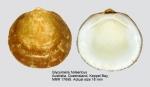 Glycymeris holoserica
