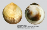 Glycymeris longior