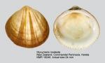 Glycymeris modesta