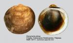 Glycymeris pilosa