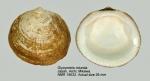 Glycymeris rotunda