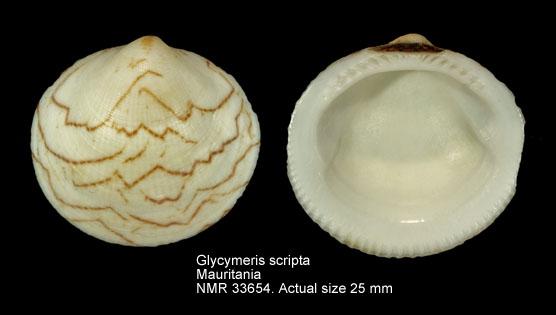 Glycymeris scripta