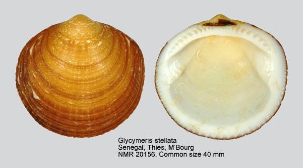 Glycymeris stellata
