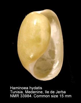 Haminoea hydatis
