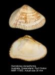 Hemidonax donaciformis