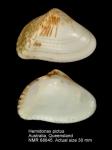 Hemidonax pictus