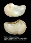 Heteroclidus punctatus