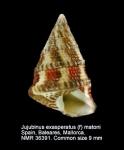 Jujubinus exasperatus