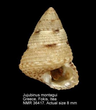 Jujubinus montagui