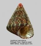 Jujubinus ruscurianus