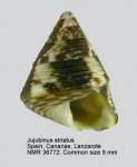 Jujubinus striatus