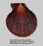 Laevichlamys multisquamata