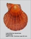 Laevichlamys squamosa