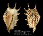 Strombidae