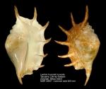 Lambis truncata truncata