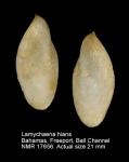 Lamychaena hians